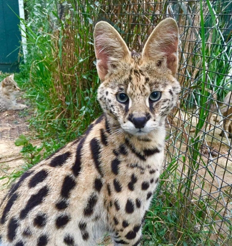 Gizmo a male young serval son of kaos